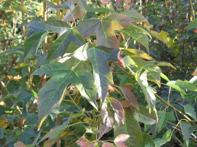 Acer buergerianum blad