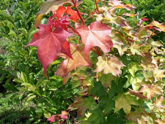 Acer cappadocicum 'Rubrum'