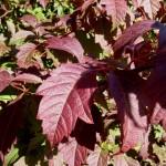 Acer cissifolium herfstblad