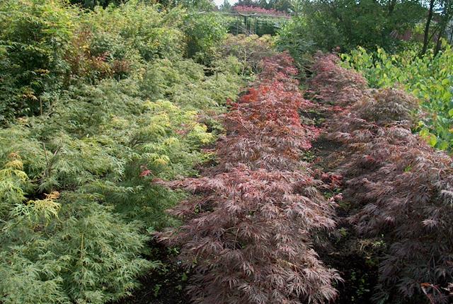 Acer palmatum 'Dissectum'  in soorten