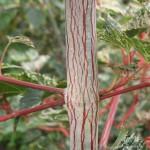 Acer pectinatum 'Silver Cardinal' stam