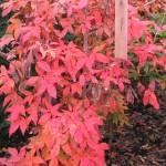 Acer triflorum herfst