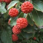 Cornus kousa chinensis vrucht