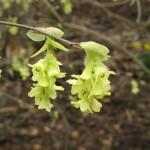 Corylopsis sinensis calvescens