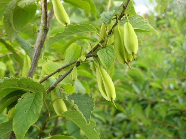 Halesia carolina vrucht