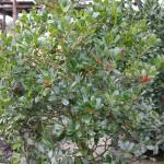 Ilex aquifolium 'JC van Tol' plant