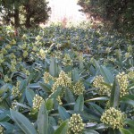 Skimmia 'Kew Green'