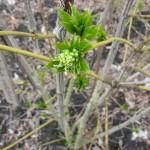 Staphylea colchica bloem