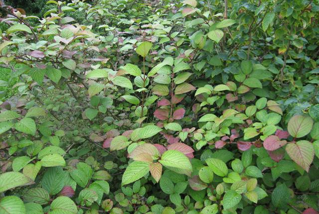 Viburnum plicatum 'Rotundifolium'